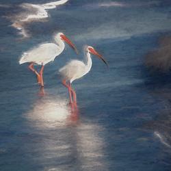 Wading White Ibises
