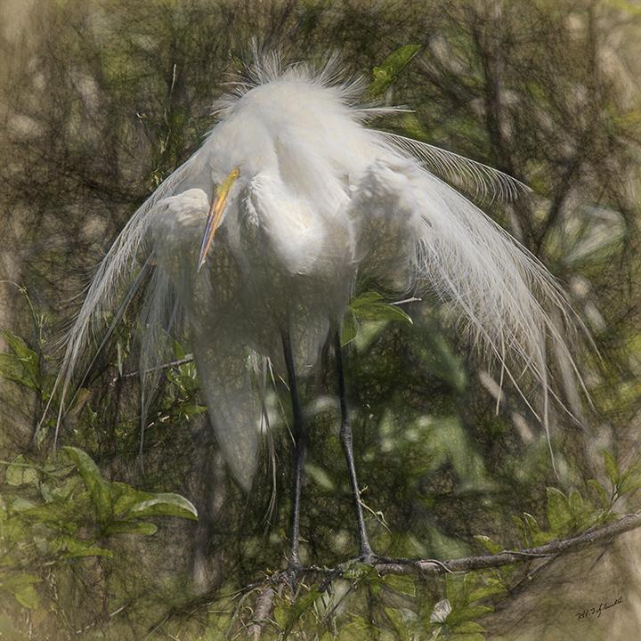 Great Egret V 8x8