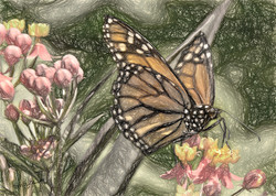 Monarch Sketch