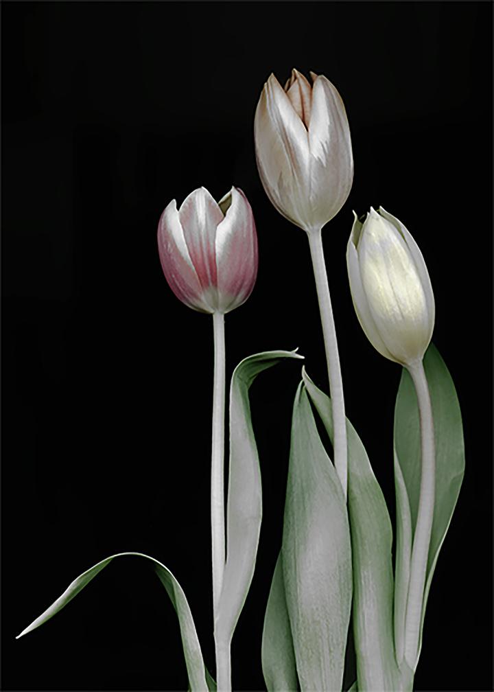 bw tulips Mod1
