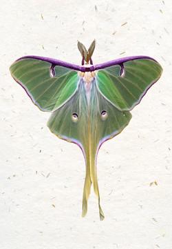 Luna Moth II