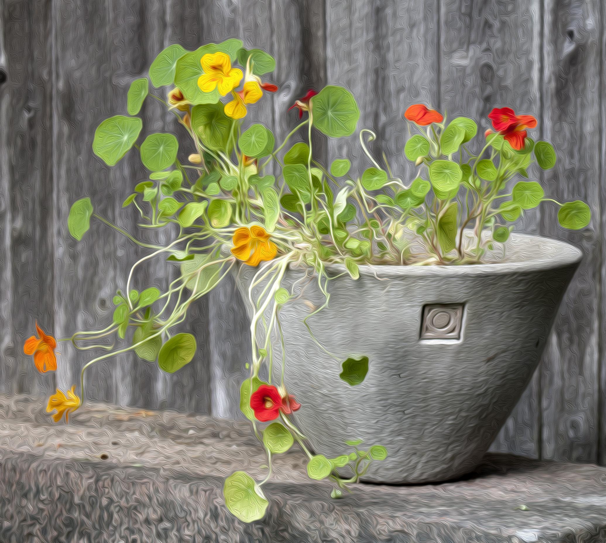 Thuya Pot
