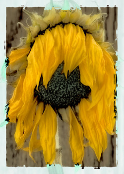 Sunflower Abstract