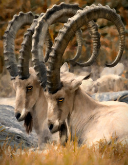 Double Ibex Paint