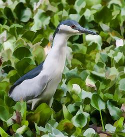 Black Crowned Night Heron II