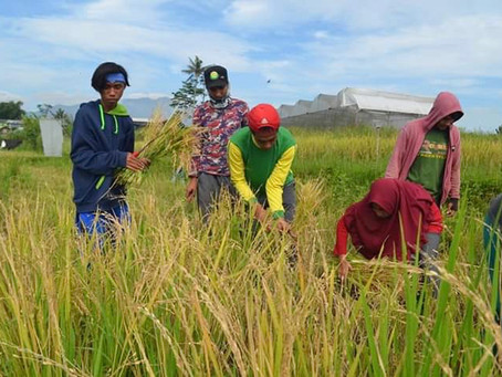Harvesting Period (Red Rice)