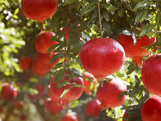 Passion about Pomegranate