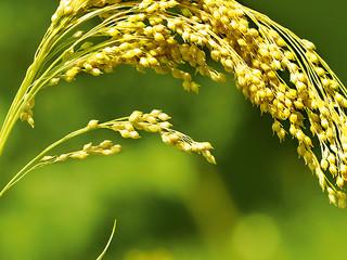 Miraculous Millet