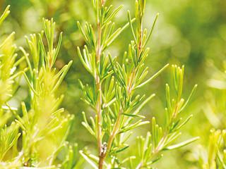 Restorative Rosemary