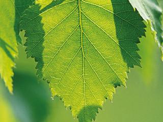 #CleanerBeauty Beautiful Birch