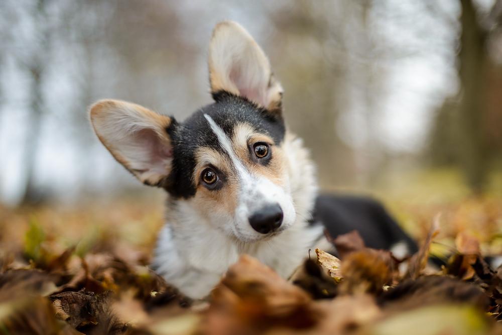Corgi puppy in the Autumn leaves.