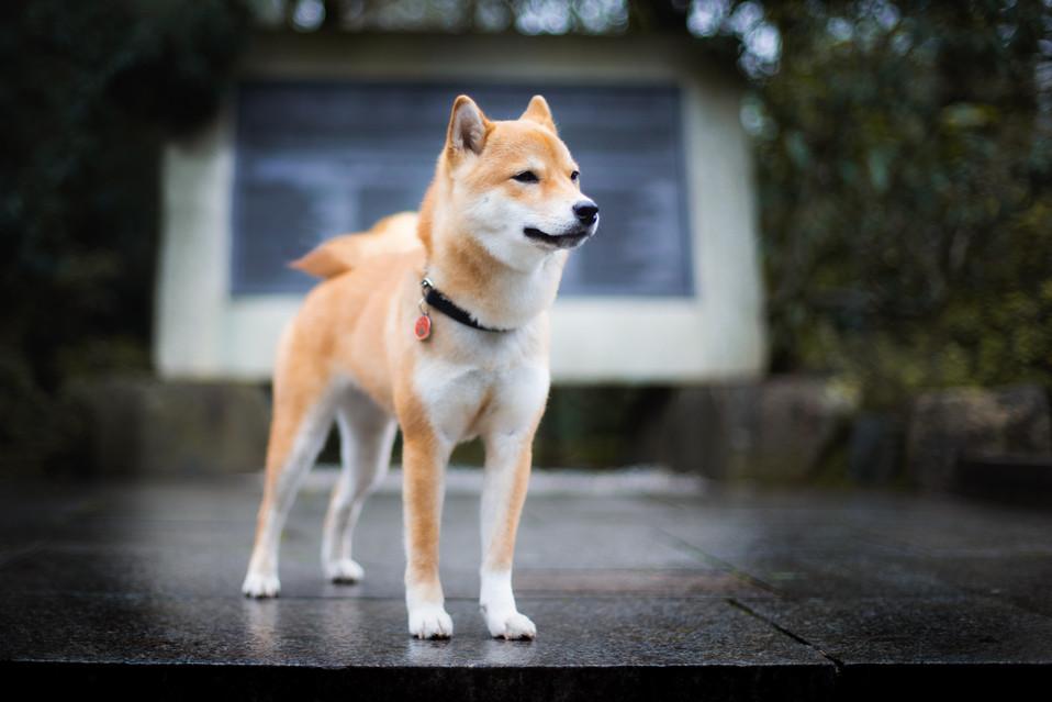 Shiba in Kyoto Garden
