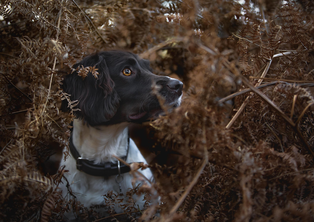 Spaniel in ferns captured using canon 1Dx ii and 50mm F1.4