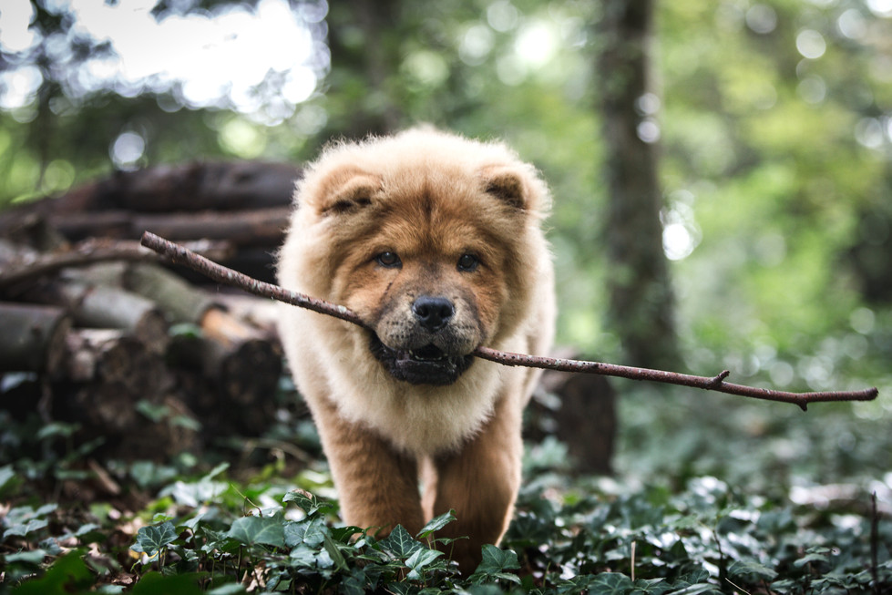 Chow in Forest