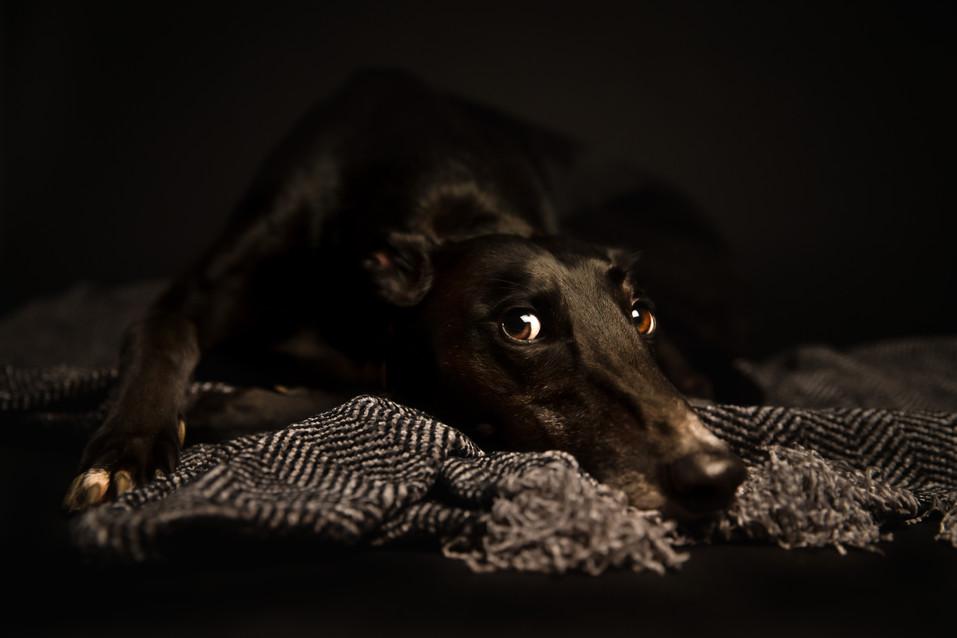 Greyhound eyes