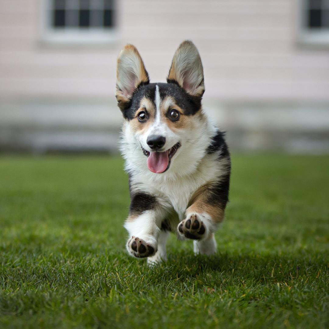 Running Corgi Pup