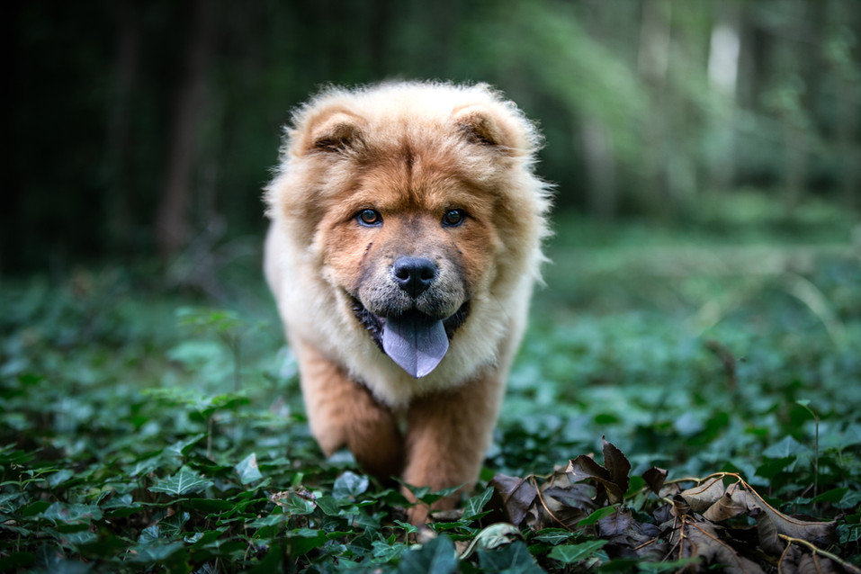 Chow Pup