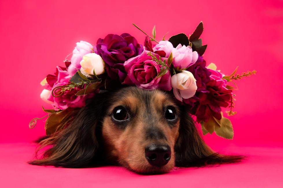 Flower Crown Dachshund