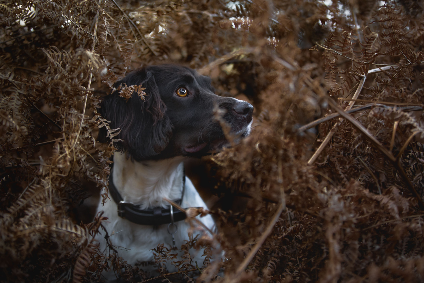 Spaniel in Ferns