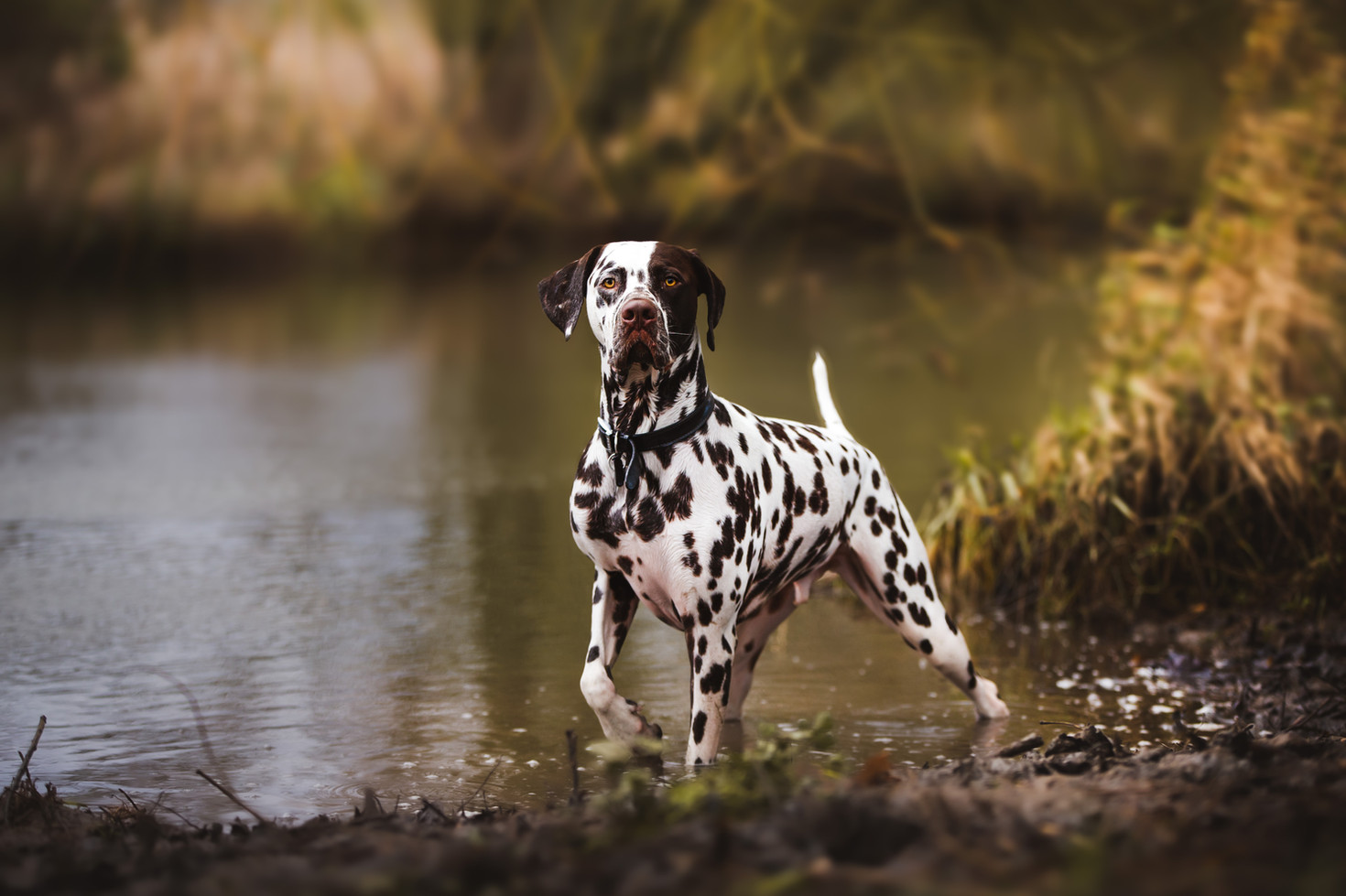 Dalmation in River