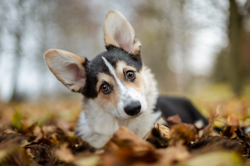 Corgi Pup - Greenwich Park