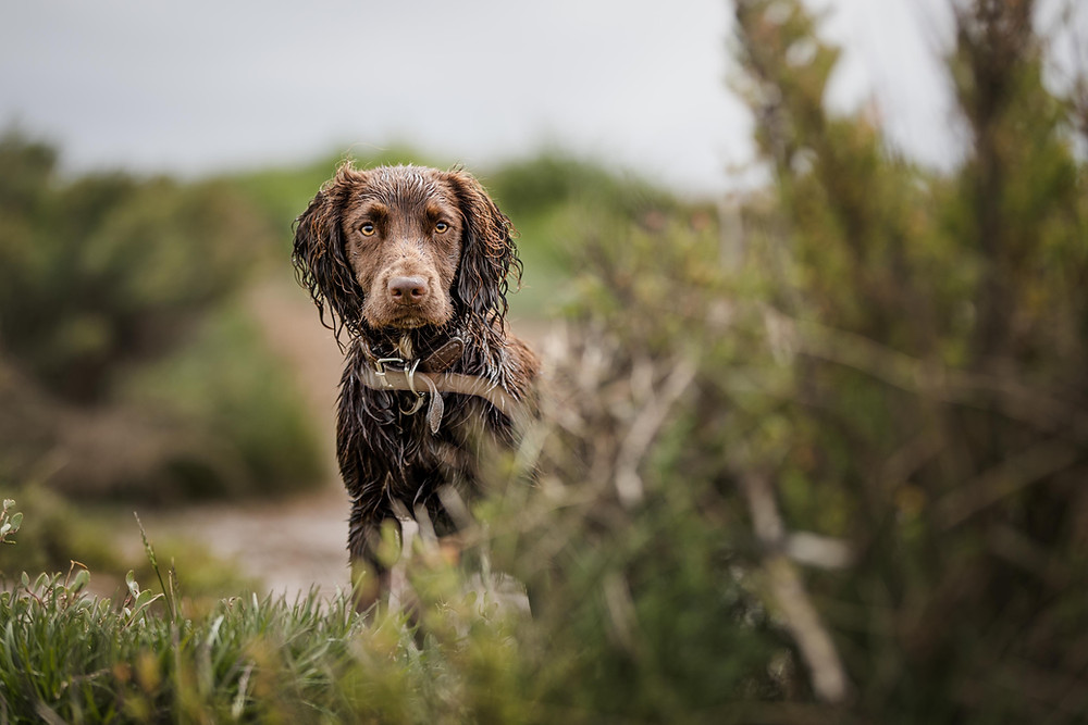 Working Cocker, Norfolk, Canon 1Dx dog photographer