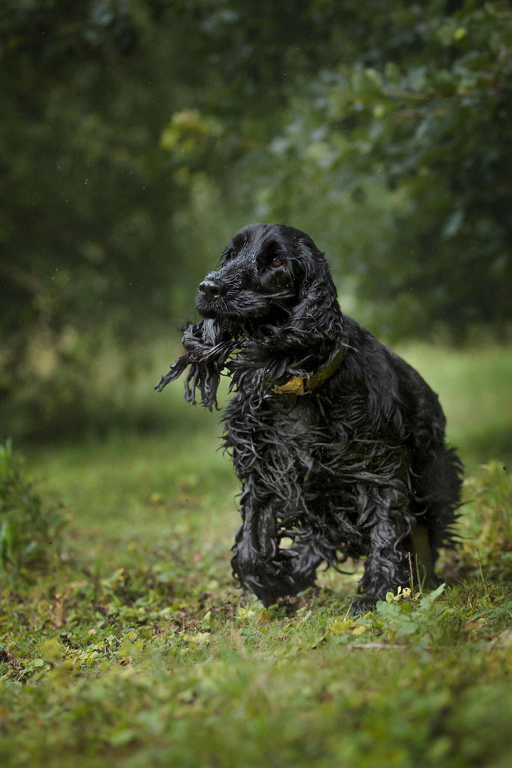 Camera setting for photographing black dogs. @pedro.the.cocker.spaniel
