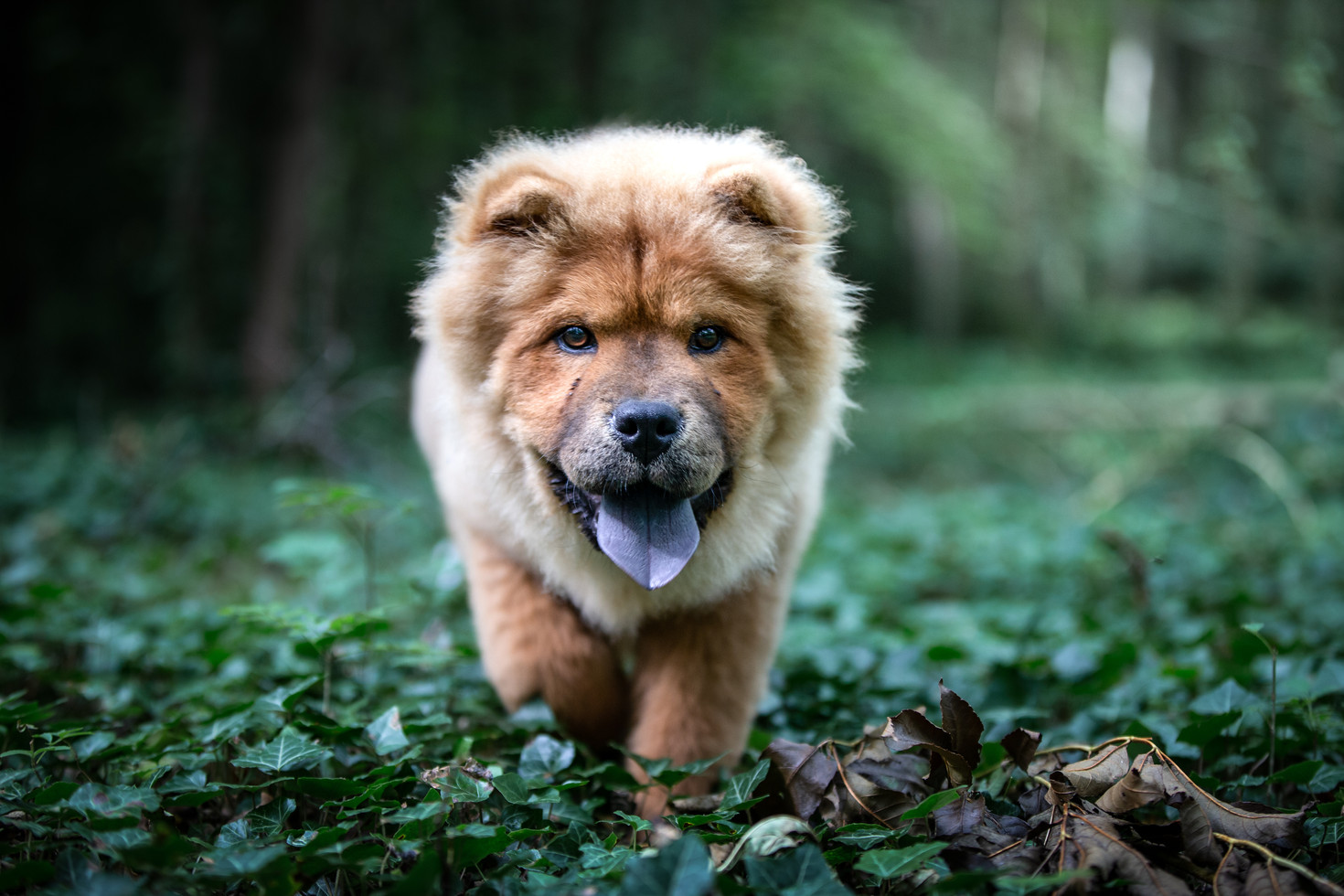 Chow Chow Pup