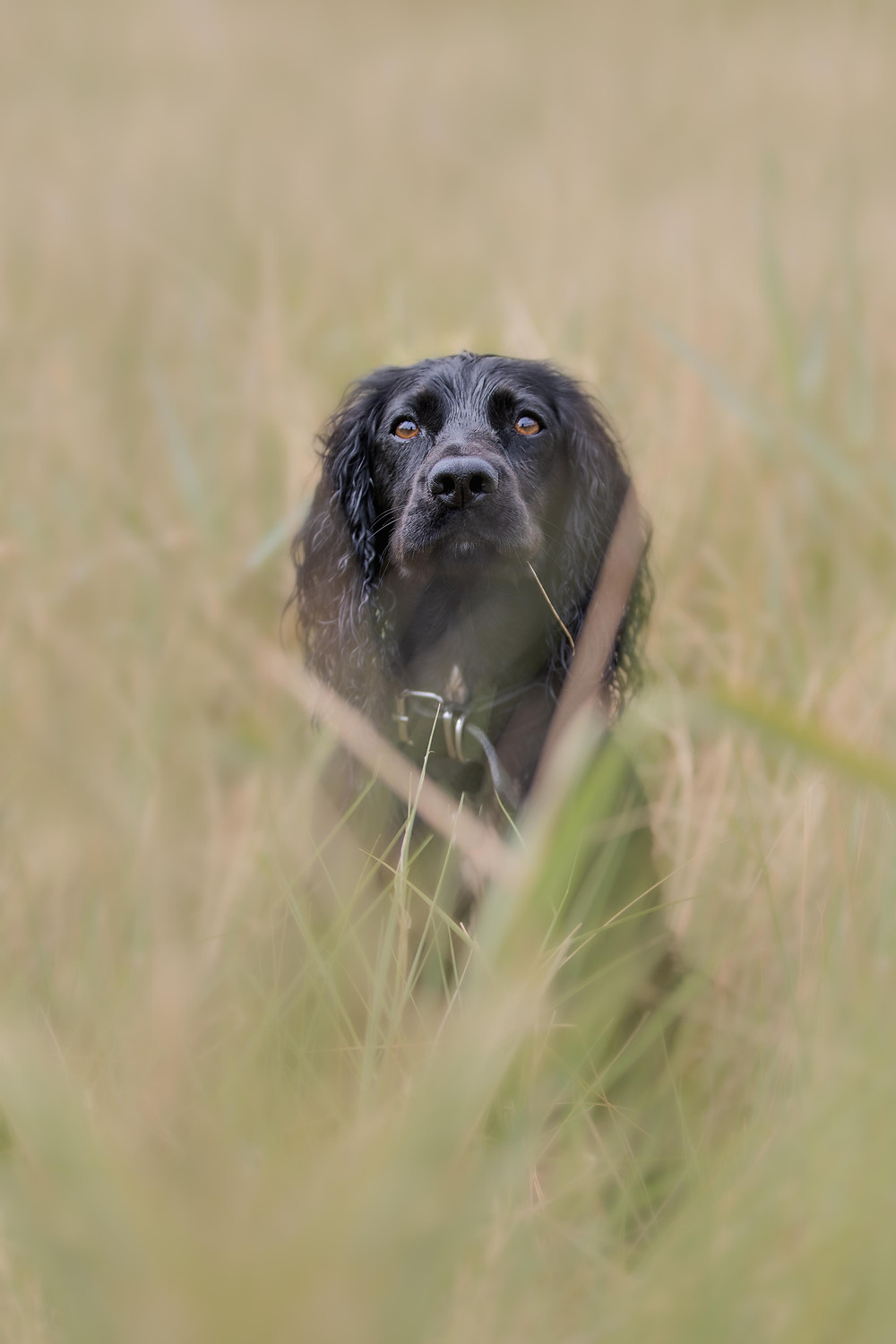 Norfolk dog photographer, Canon photography, Working Cocker Spaniel
