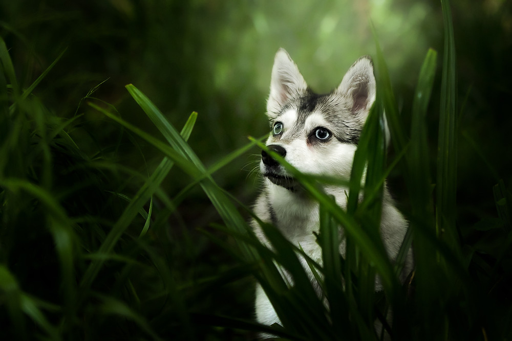 Alaskan Klee Kai photoshoot, dog photographer, London Dog Photographer.