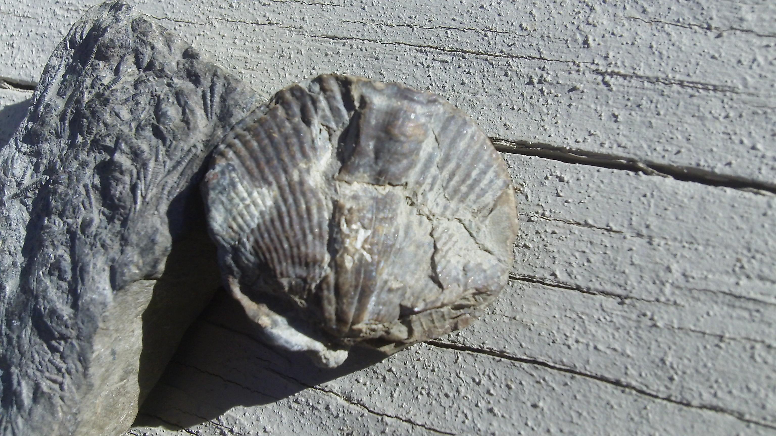Crinoid-Brachiopod