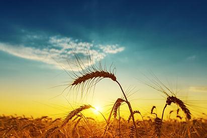 golden-harvest-under-blue-cloudy-sky-on-