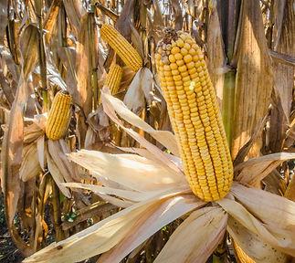 champ de maïs.jpg