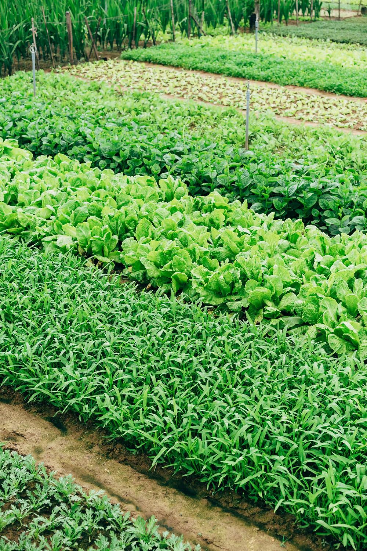 Salades et légumes verts au champ