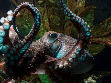 Curio:  An Octopus Geography
