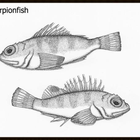 Bycatch: Sonora Scorpionfish