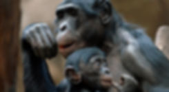 bonobo-tabatha-june28-810x445-1561750180