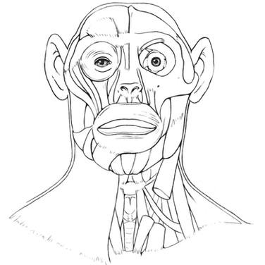 Bonobo Head Illustration by Julia Molnar