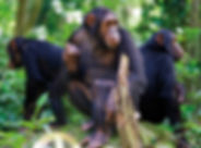 chimps-of-the-nyungwe-forest-41197947-15