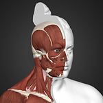 Human Head and Neck Reconstruction .png