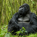 rwanda-mountain-gorillas-richard-denyer-