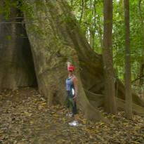 Massive Trees in Rain Forest