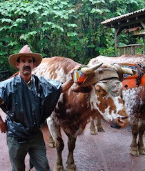 Typical Colorful Yoke On Oxen