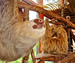 Sloth Up Close At La Paz