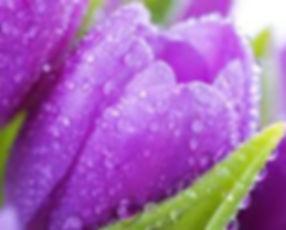 spring_tulip.jpg