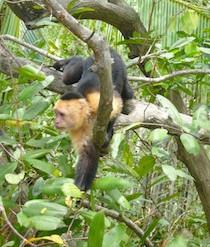 Monkeys at Isa Damas