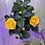 Thumbnail: Victory Roses
