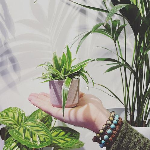 Chlorophytum Baby Plant