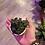 Thumbnail: Peperomia Verticillata