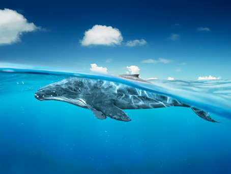 How whales regulate the marine circular economy & the climate